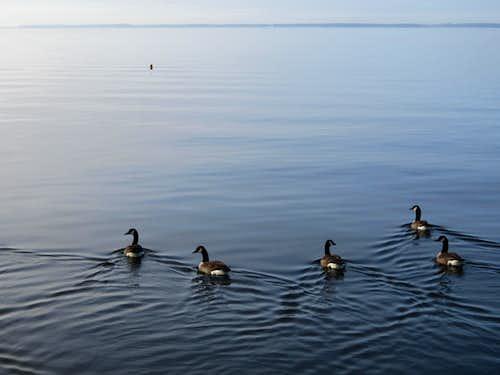 Geese Wake