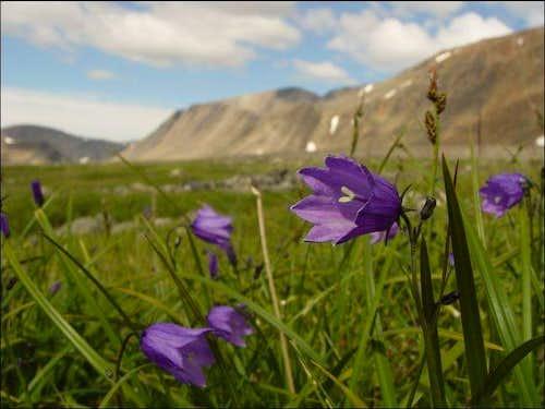 Purple Arctic Harebell...