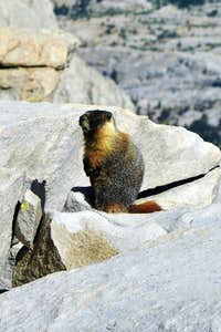 Marmot atop the highest mountain in the lower 48