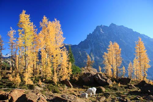 Larches!