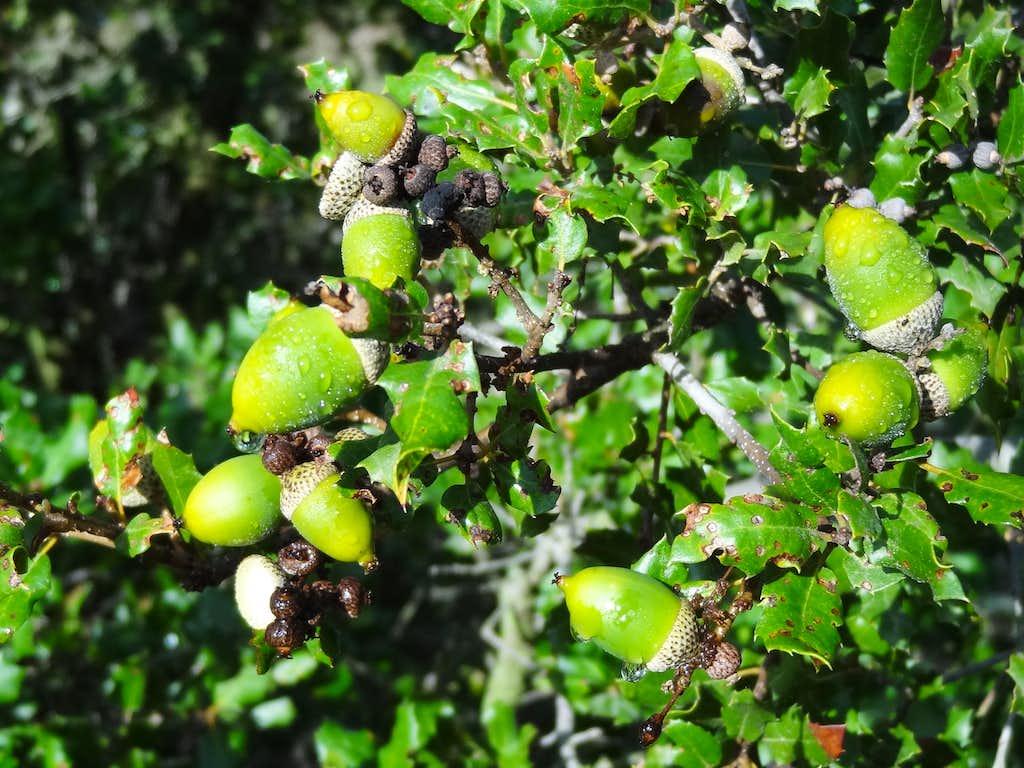 Holm Oak (Quercus ilex)