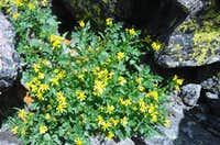 Yellow flowers on the Ute Trail