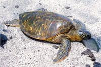 Green sea turtle at Pu\'uhonua o Honaunau Beach