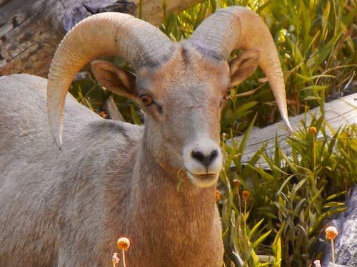 Big Horn Sheep, Mt. Baldy