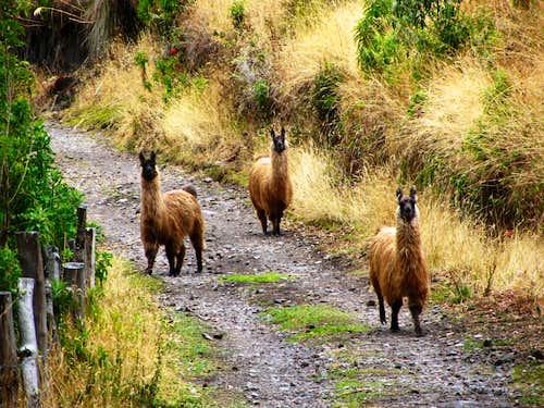 Llamas on Pasochoa