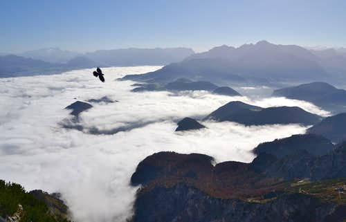 An alpine chough (Alpendohle) flying over the clouds