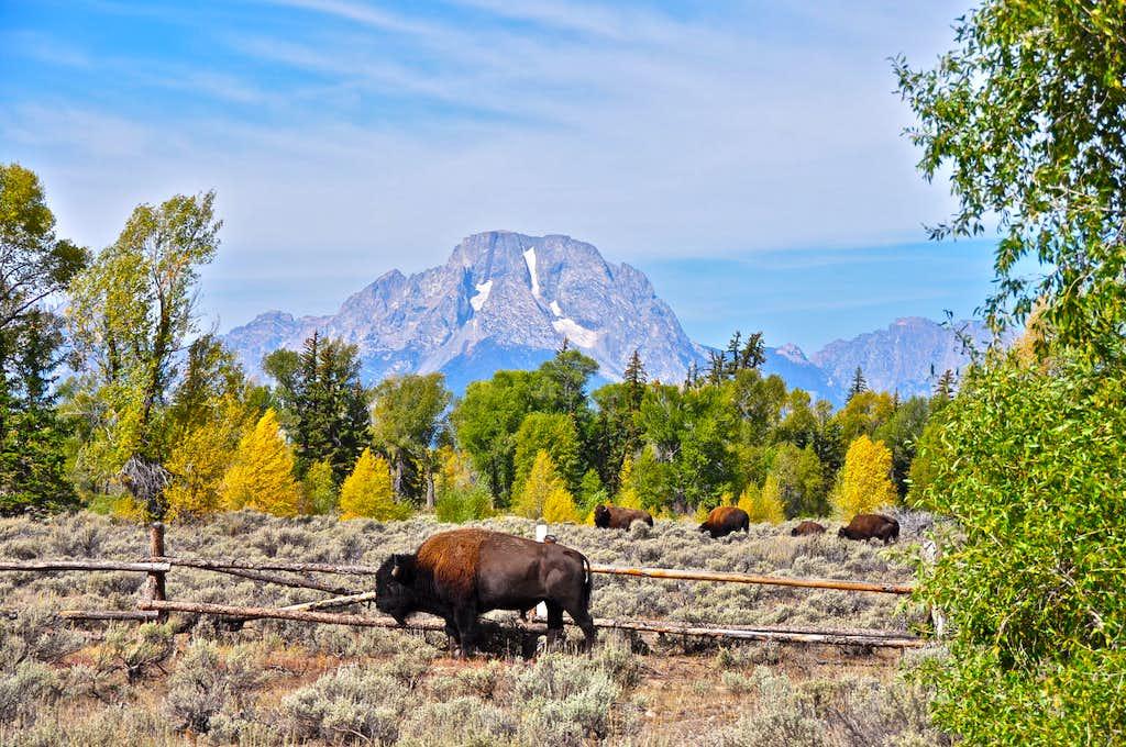 Buffalos and Mount Moran