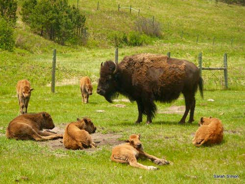 Bison cow with calves