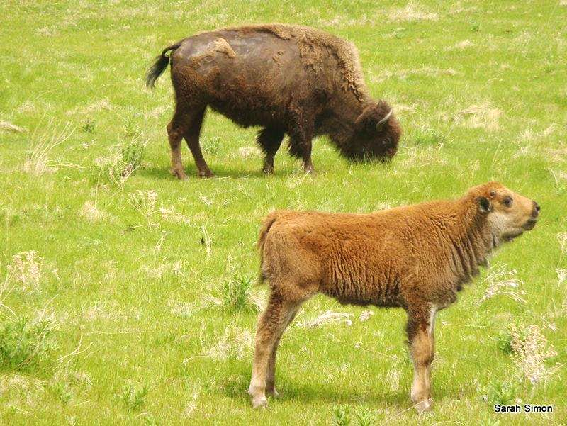 Bison calf squeaking