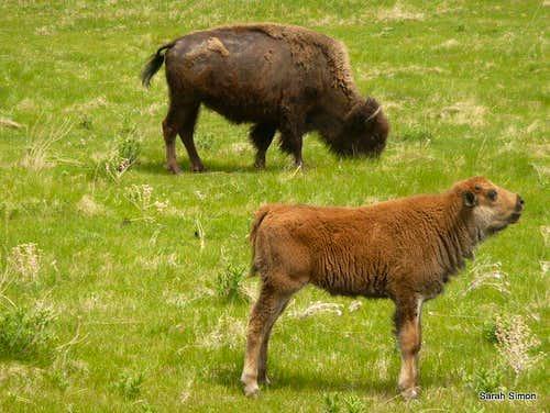 Bison calf squeaking