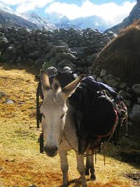 One of our mules in Quebrada Rurec