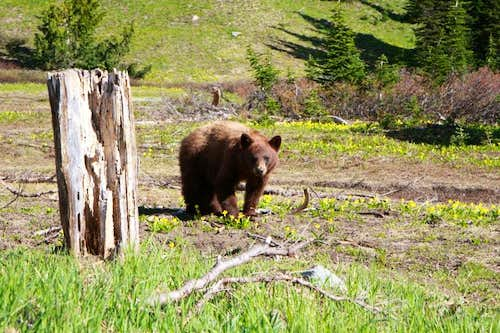 A bear at Glacier Meadows