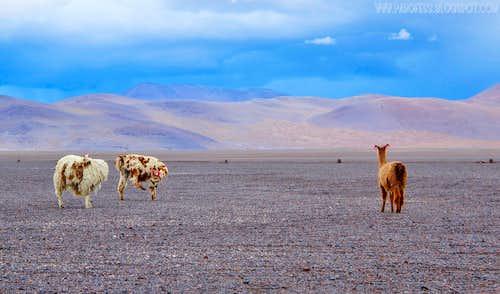 And more Llamas at 4300m