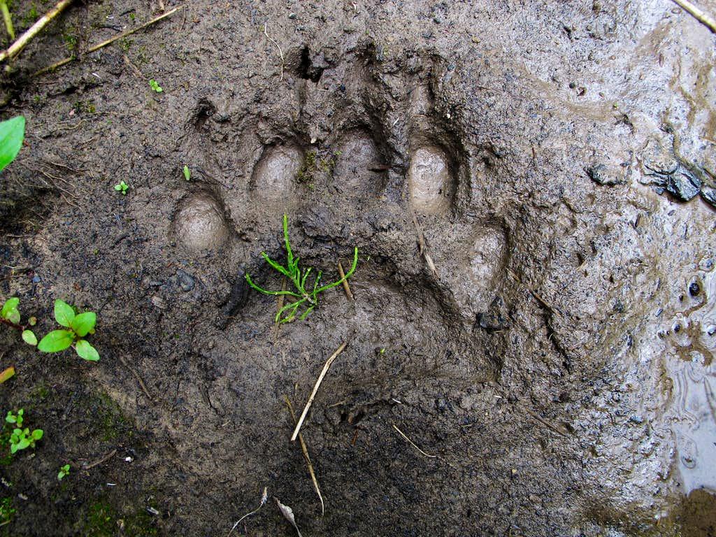 Fresh Bear Track