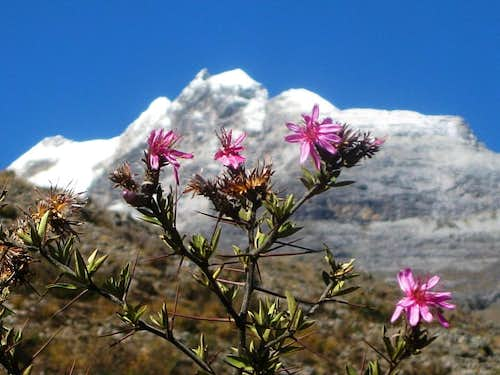 Alpine flowers near the Ishinca trailhead - with Urus Oeste in the background
