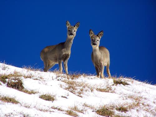Curious roe deer