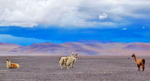 Llamas...4300m
