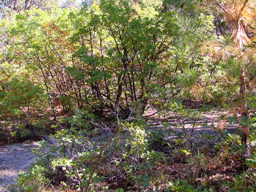 Dense vegetation in Bridge Canyon
