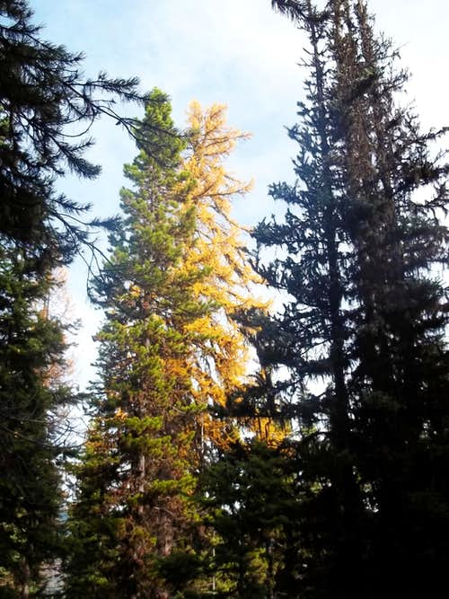 A tall colorful larch
