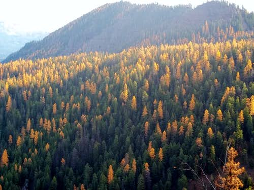 Closeup of larches