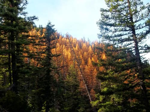Colorful larches