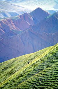 A lone donkey grazing on a...