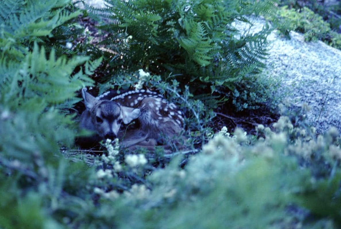 A Fawn in the Ferns