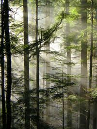 Hemlock Forest Beams