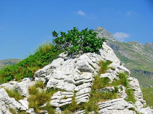 A plant of the limestone