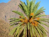 Date palm nearby Tafraoute