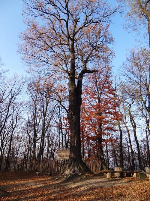 The huge oak tree on top of Gromnik