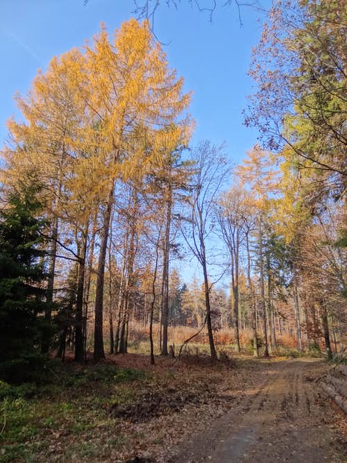 Larch trees near Gromnik
