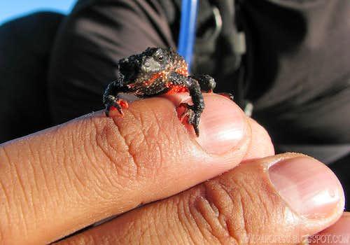 Flamenguinho Frog (Melanophryniscus moreirae)