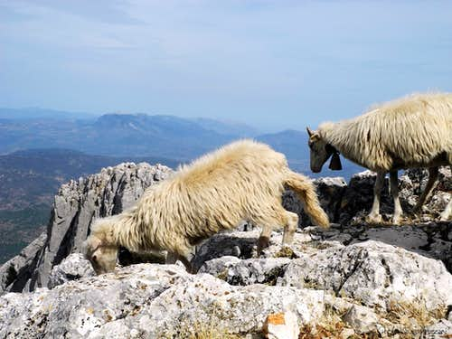 Sheep running away from the summit