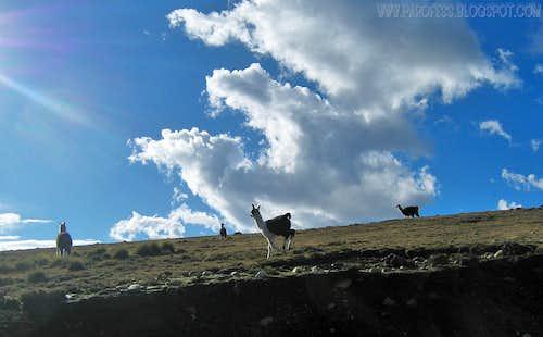 Llamas, running free...