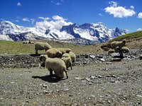 Sheep at 3000 meters
