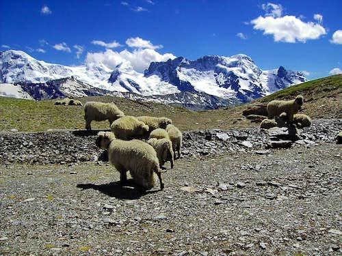 Sheep at 3000 meters