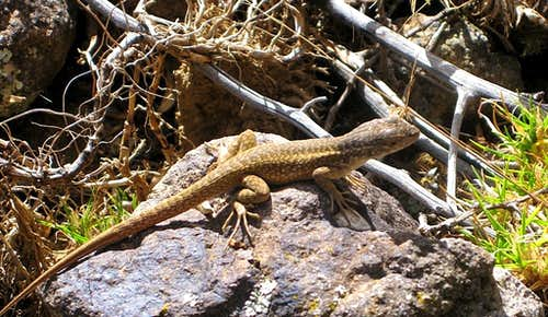 Lizard in the Cordillera Negra