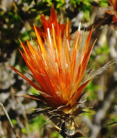 Wild flower in the Cordillera Negra