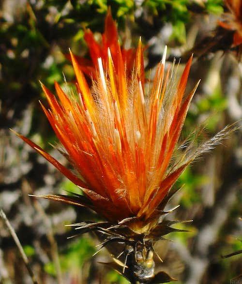 Wild flower in the Cordillera Negra