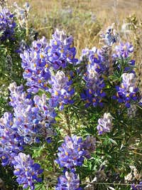 Lupines in the Cordillera Negra