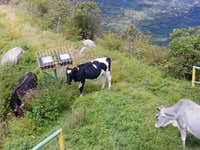 Cows at the top