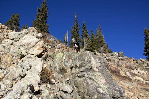 Duchess scrambling up Mt. Guyot