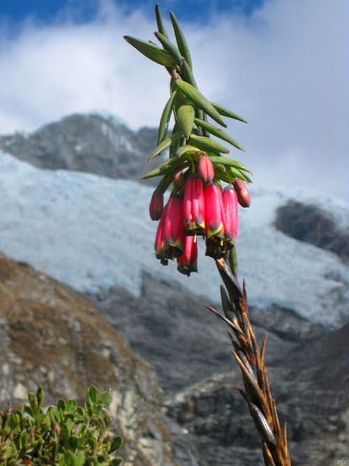 Alpine flower in the Cordillera Blanca