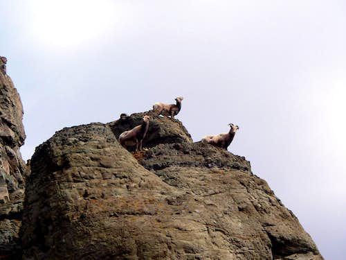 Stringer Sheep