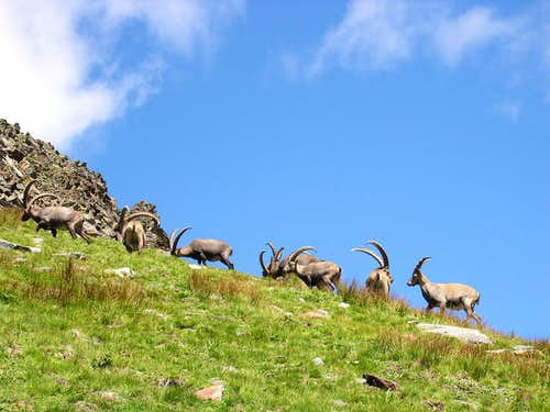 Herd of steinbocks (Capra ibex) <br>grazing at the foot of La Grivola <i>3969m</i>