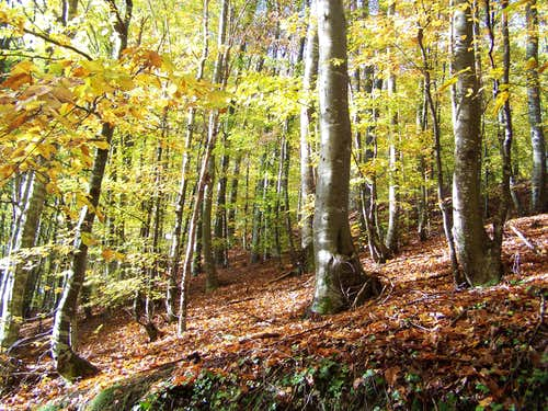 Beech forest in Krndija