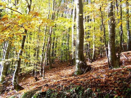 Beech forest in Krndija