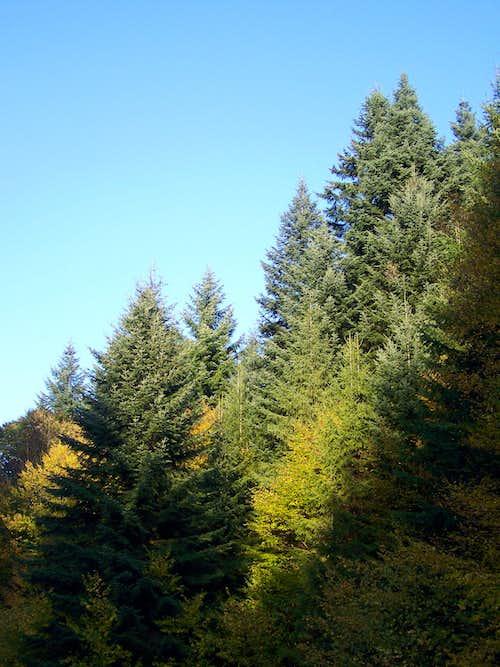 Fir trees at Djedovica Pass
