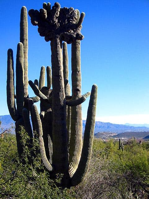 This unique  fan top  saguaro...